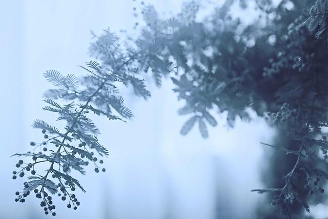 mimosa (2019 ver.)