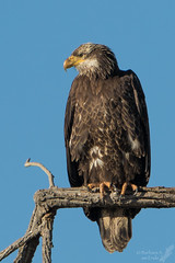NM Bald Eagle