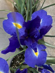 Blue Diamond Iris