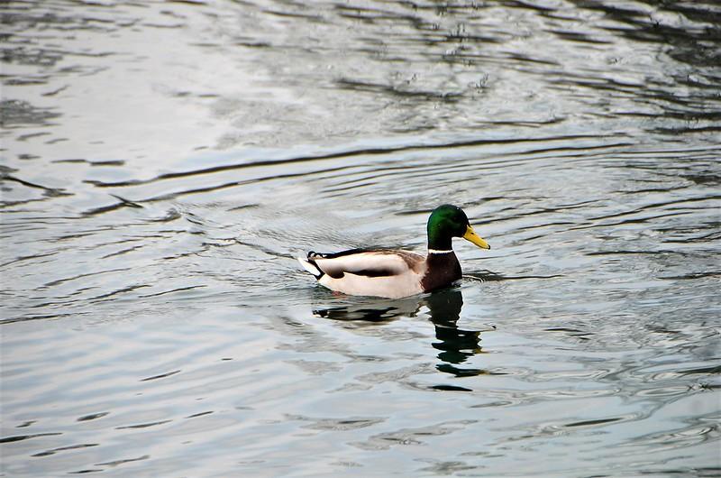 Ducks 12.01 (1)