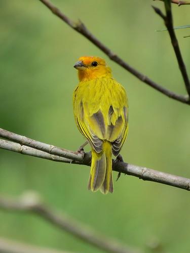 Canario Coronado, Chingüe Azafranado, Saffron Finch, Sicalis flaveola