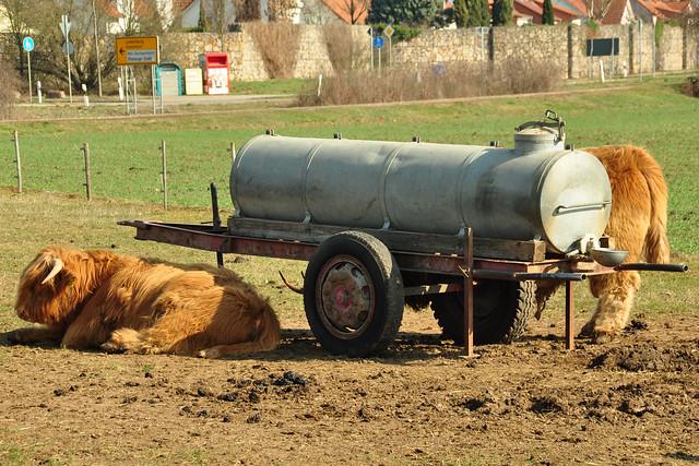Mannheim-Seckenheim, März 2019: Nachwuchs bei den schottischen Hochlandrindern ... Foto: Brigitte Stolle