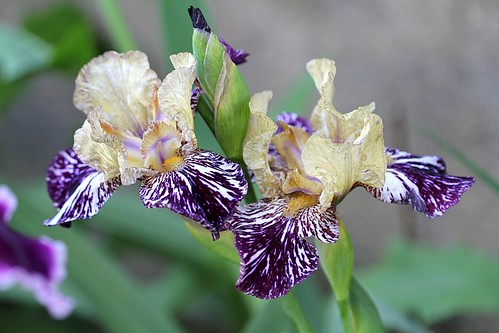 Iris - floraisons 2011 - Page 2 46472890314_191b22d0ef