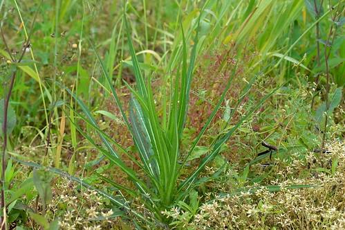 アキノノゲシ/Lactuca indica