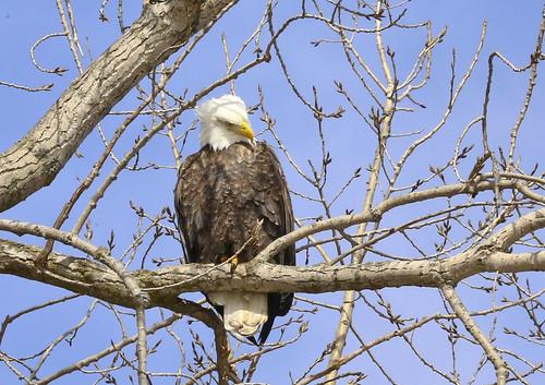 Bald Eagle Posing ****Explored****