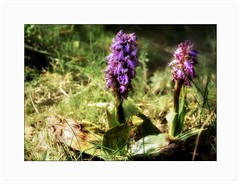 Orchis ou ophrys ? - Photo of Niozelles