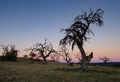 Oak Rot at Sunset