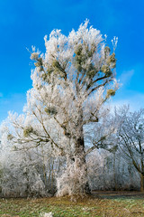 Big beautiful tree covered in frost