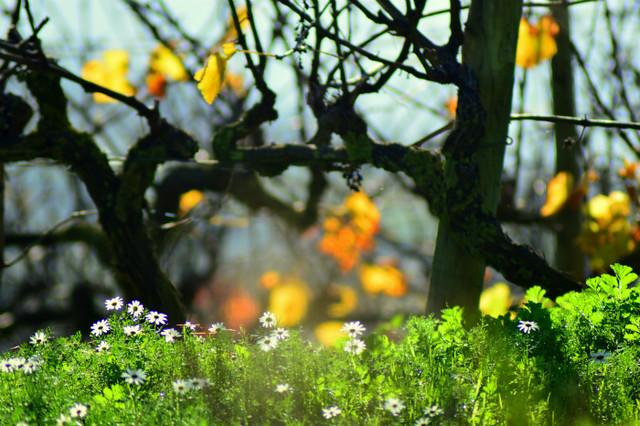 Vineyard #23
