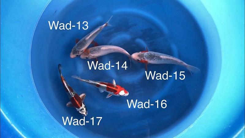 wada 3