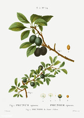 Blackthorn (Prunus spinosa) illustration from Traité des Arbres