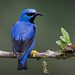 Shining honeycreeper by Eric Gofreed