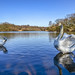 The real swan lake by Paul Wrights Reserved