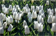 L'autre pays des tulipes (IV) - Photo of Ganagobie
