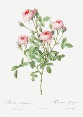 Blooming pink rosebush