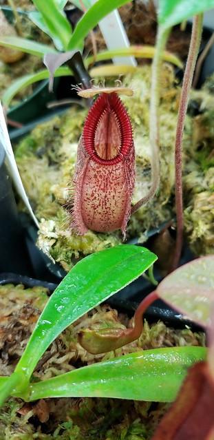 N. Undulatifolia x Hamata