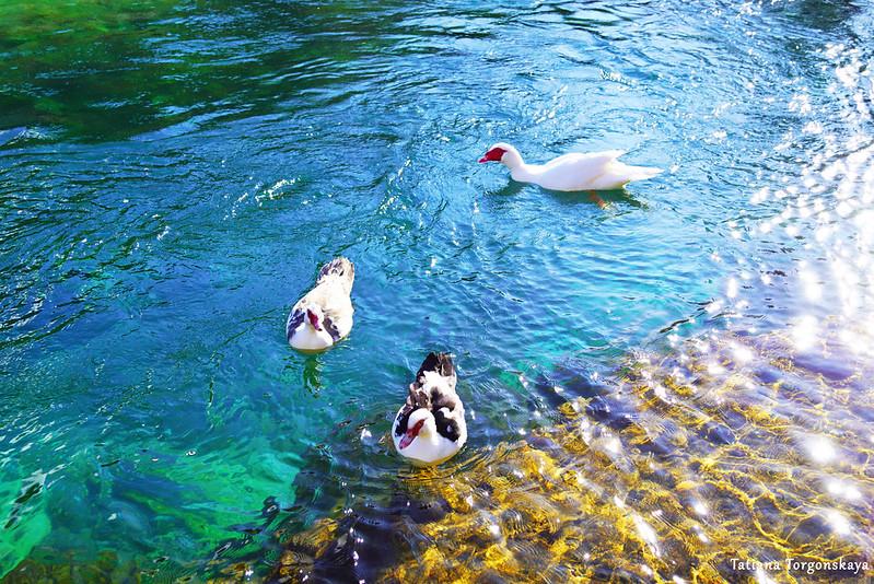 Утки в водах Брегавы в солнечный день