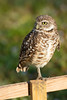 Florida Trip - March 2019 - Florida Burrowing Owl