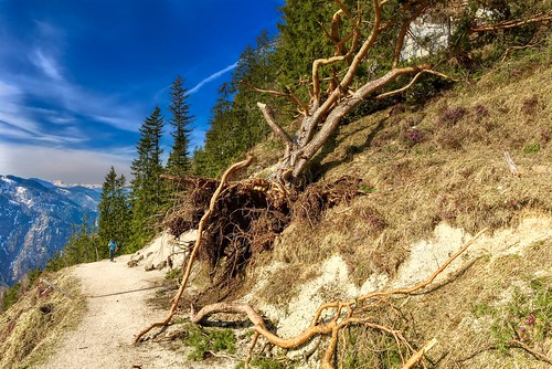 Uprooted tree on a hiking path in the Kaiser mountains near Kufstein, Tyrol, Austria