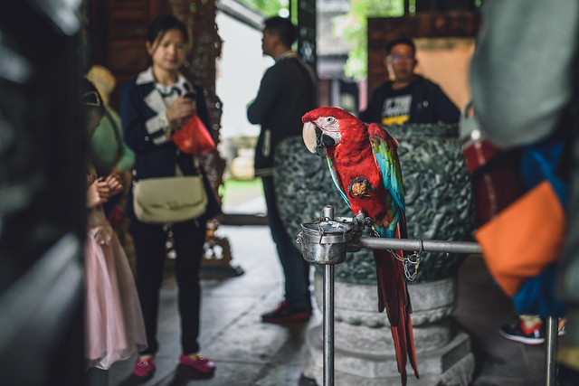 Chained parrot in Zhujiajiao Ancient Town, China