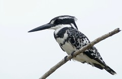 Pied Kingfisher (Ceryle rudis) male ...