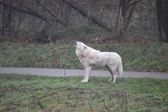 Aouuuuh : Arctic Wolf (Canis lupus Arctos) - Photo of Béhoust