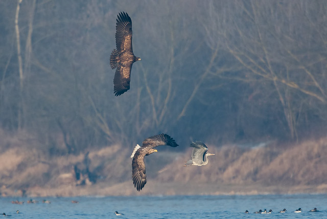 White-tailed eagles and the heron