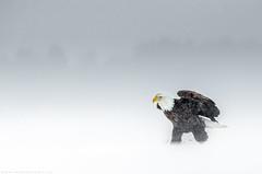 American Bald eagle - Pygargue à tête blanche