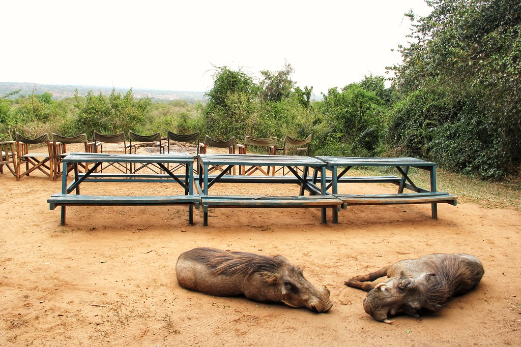 Warthogs, Red Chilli Rest Camp, Murchison Falls