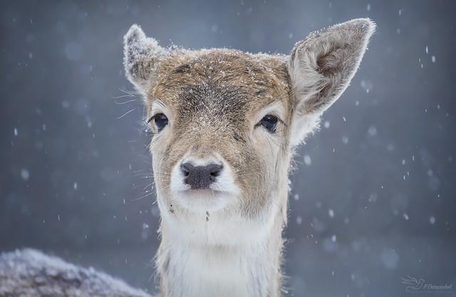 Snowy Bambi, Canon EOS 750D, Sigma 150-600mm f/5-6.3 DG OS HSM | C