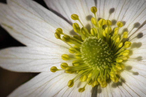 anemone berlandieri