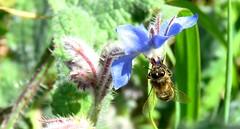 Bourrache officinale et abeille - Photo of Aspremont