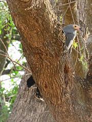 gymnogene5; s luangwa national park