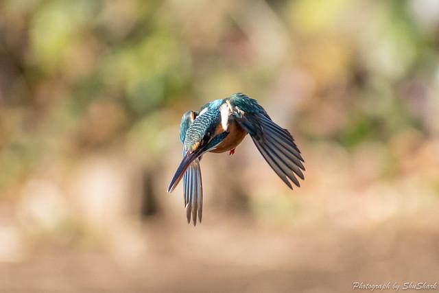 20190210-kingfisher-DSC_1079