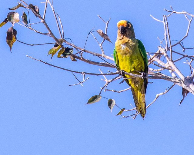 PARAKEET, Peach-fronted