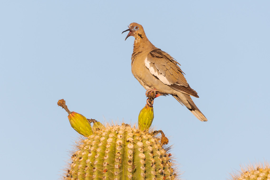 A white-winged dove, its face matted with fruit juice, sits atop an unripened saguaro fruit with its mouth open as it prepares to preen in McDowell Sonoran Preserve in Scottsdale, Arizona