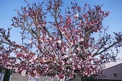 France, le Prunus en fleurs un 1 Mars 2019 - Photo of Fleury