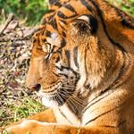 Royal Bengal Tiger - Roar