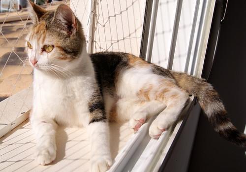 Zoe, gatita tricolor jaspeada divertida y guapa esterilizada, nacida en Septiembre´18, en adopción. Valencia. 33274714718_603c1cf444