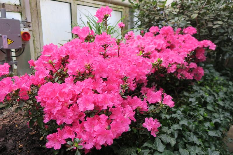 """Rhododendron simsii """"Georg Struppek"""""""