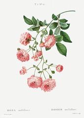 Multiflora rose (Rosa multiflora) illustration from Traité des