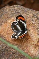 Colotis euippe omphale (Pieridae: Pierinae: Colotini), female