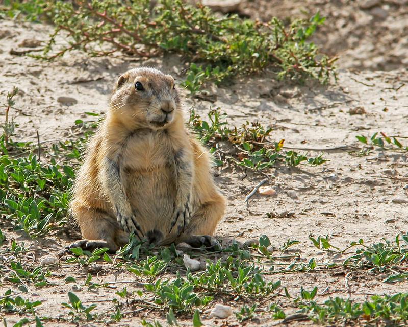 Prairie-Dog-9-20D_9-16-2007