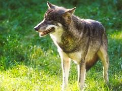Wolf im Gras -  1. Oktober 2017 - Schleswig-Holstein - Deutschland