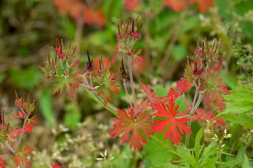 アメリカフウロ/Geranium carolinianum