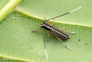 Longhorn beetle (Glenea sp.) - DSC_1326