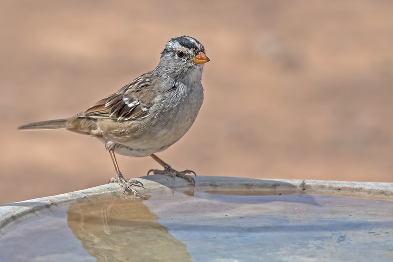 White-crowned-Sparrow-7-7D2_033019