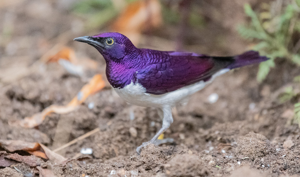 Violet Backed Starling_3