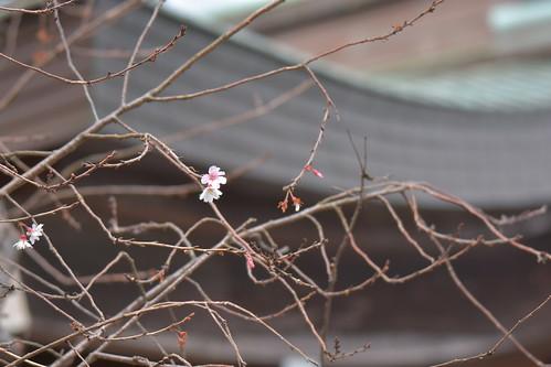 DSC_0488 十月桜