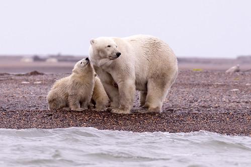 Polar bear cub and mother